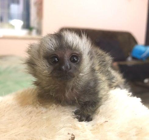 Ручная мини обезьяна,обезьянка игрунка домашняя Питомник Джунглипарк