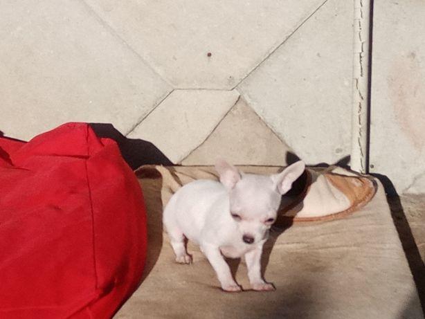 Chihuahua -mini piesek-bialy
