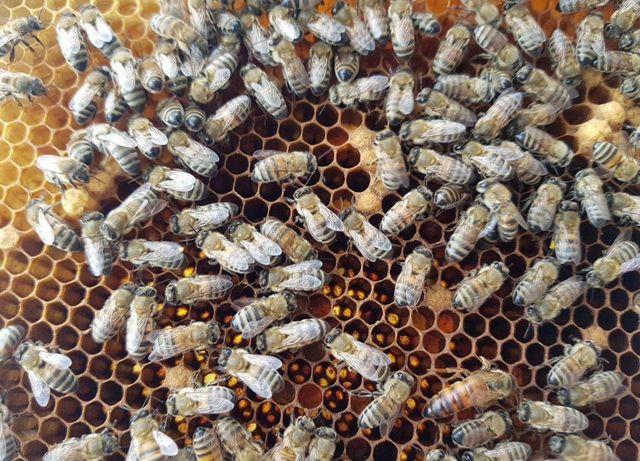 Пчеломатки Заказы на весну Высокопродуктивные От Айлойза Кройза.
