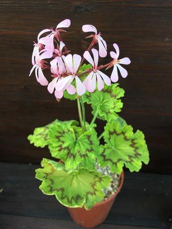 Пеларгония видовая(Pelargonium zonale)