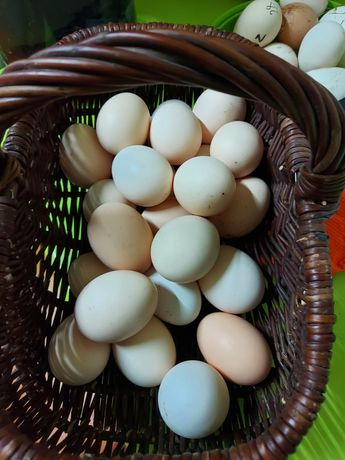 Jajka od wiejskich kur 80 groszy za sztukę