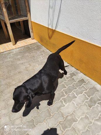Labradores machos dá se se