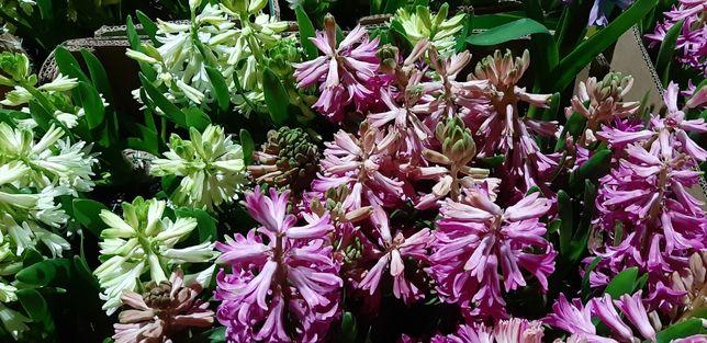 Квіти Гіацинт - 40грн. Крокус - 40грн.