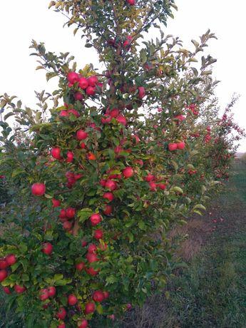 Продам яблука Ліза чемпіон флоріна айдаред