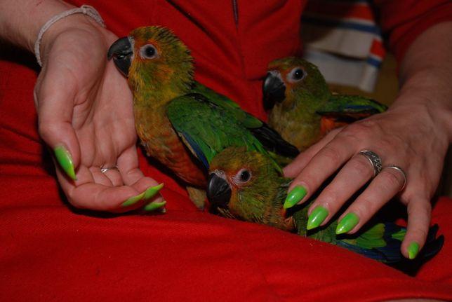 Супер попугай аратинга, маленькие птенчики