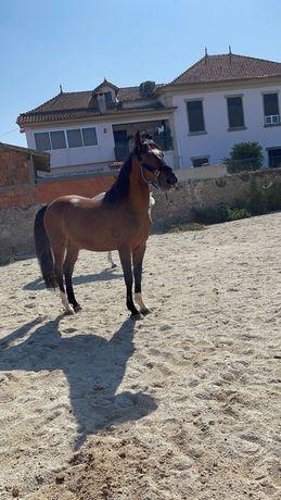 Cavalo com 8anos castrado habituado a passear na rua