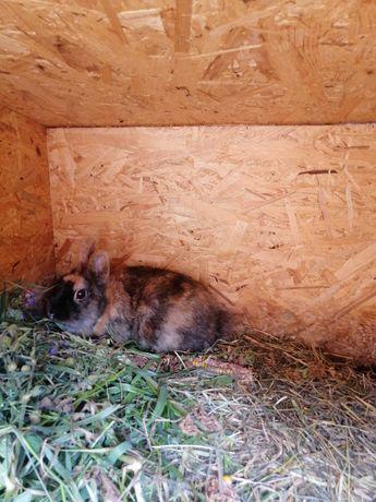 Oddam króliki miniaturki