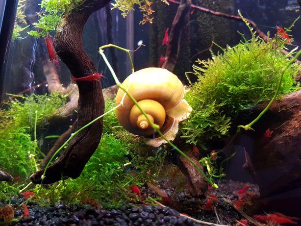 Mega ampularia duży ślimak