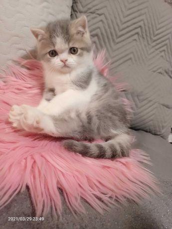 Kot,Kotek egzotyczny