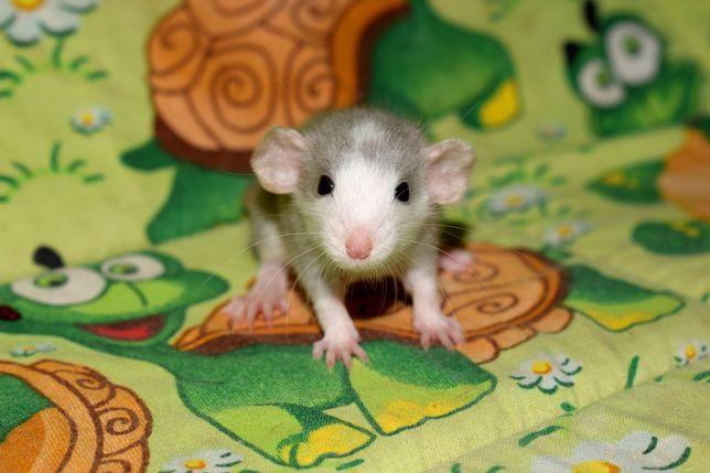 Szczur, szczurki, szczury dumbo/standard