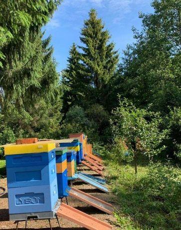 Бджоломатка Запліднена - Пчеломатки пчел - Плодная Матка Карпатка
