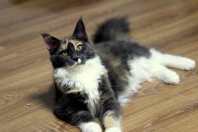 Maine Coon koteczka Mia