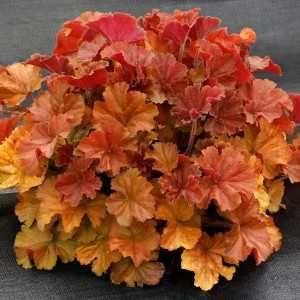 sadzonka żurawka Northern Exposure Amber p12 Tarnowskie Góry - image 1