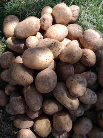 Ziemniaki Jadalne Bellarosa Jurek Gala