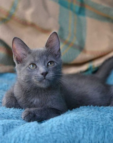 сіро-плюшева активна юна кішка 5м