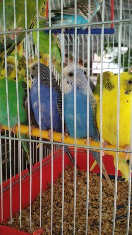 Хвилясті папуги і все що потрібно для них