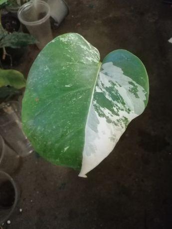 Филодендрон монстера Borsigiana variegata