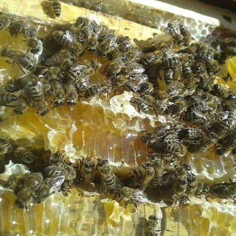 Пчеломатки. Карніка Тройзек