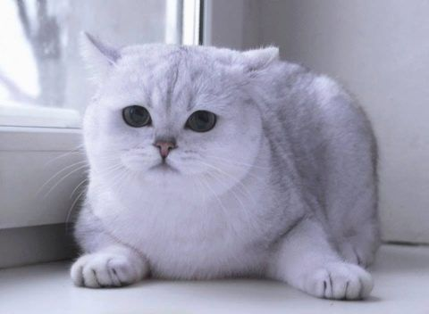Вязка с серебристо шиншилловым котом
