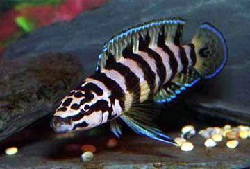 Tanganika Julidochromis transcriptus Trójmiasto, Wejherowo, Tczew, Wła