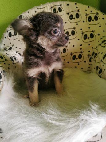 Chihuahua dziewczynka gotowa do odbioru