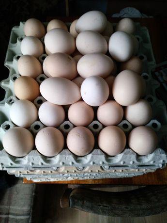 jaja jajka wiejskie z wolnego wybiegu