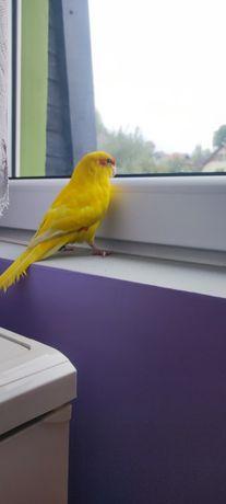 Młoda oswojona papuga nimfa. Obrączkowana, zamiana