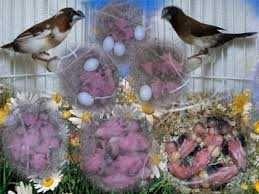 Vendo bengalins sexados reprodutores