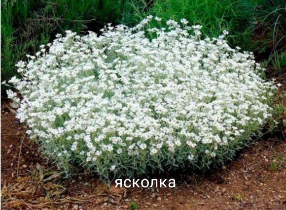 Саженцы почвопокровники ясколка, чабрец, флокс шиловидный, молочай,..