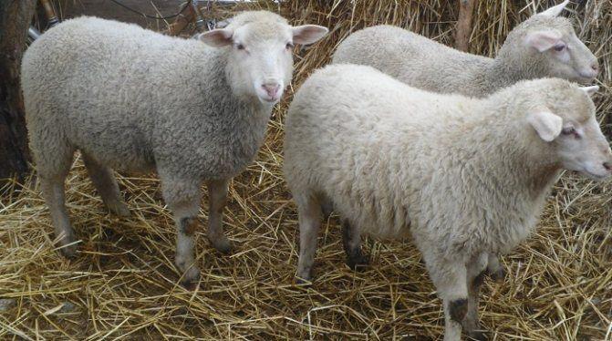 Продам овец меринос прекос