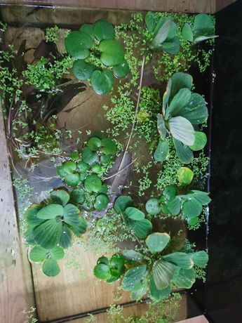 Rośliny pływające pistia rozetkowa, limnobium gąbczaste, rzęsą drobna