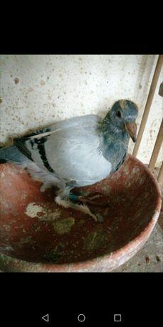 Gołębie pocztowe późne młode