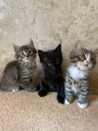 Пушистые котята. 3 штуки. Прививка, обработка блохи/глисты