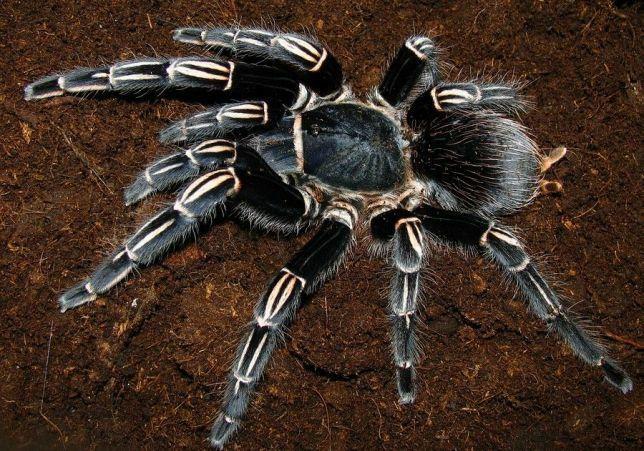 Паук для новичка Aphonopelma seemanni 2.5-3 см по телу самка