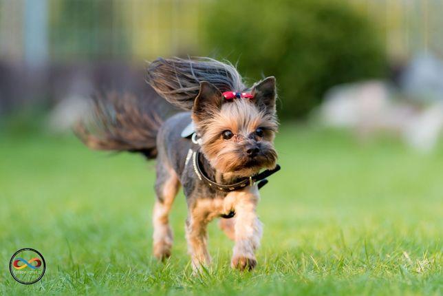Strzyżenie psa, fryzjer psi - york, shih tzu, maltańczyk
