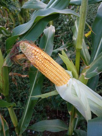 Ziarno kukurydzy na ccm