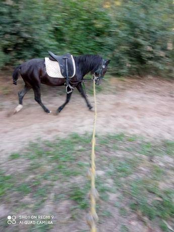 Cavalo garrano capado