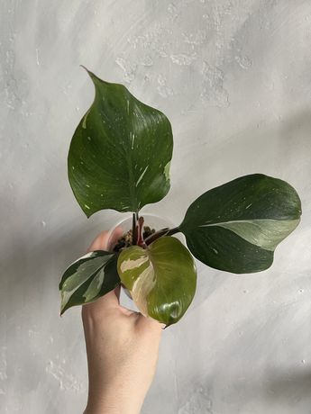 Philodendron white knight