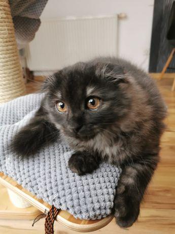 Kot szkocki zwisłołuchy-niebiesko/grafitowy