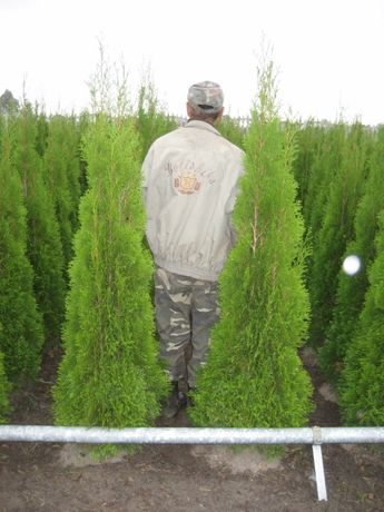 tuja SZMARAGD 220cm smaragd PRODUCENT gatunek PIERWSZY sadzenie TRANSP