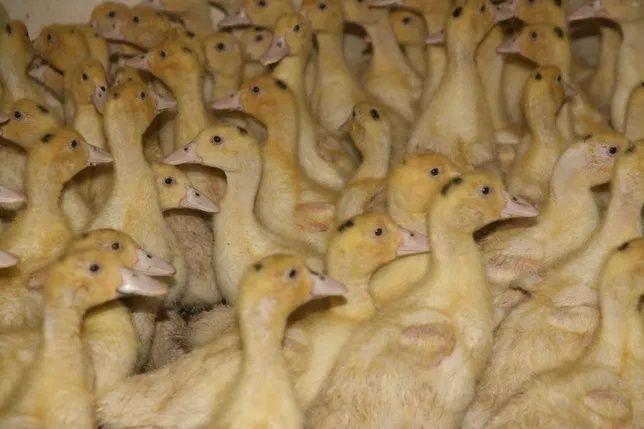 Kaczki mulard kaczka biala