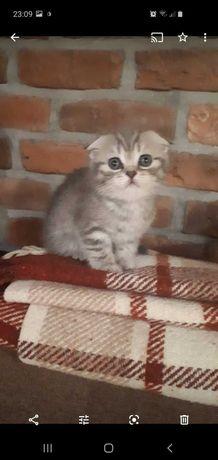 Отдам котёнка британца