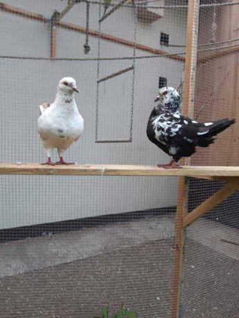 Sprzedam gołębie Kingi i Garłacze