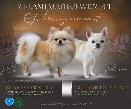 chihuahua szczenięta ZKwP FCI