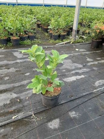 Kołobrzeg Laurowiśnia wschodnia Rotundifolia 15-40cm Donica 2 L Okazja