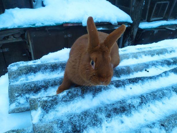 Продам робочого кроля НЗК