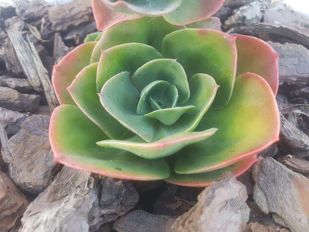Mandala, suculenta pequena