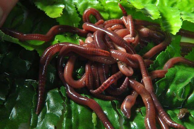 Червь калифорнийский (хробак каліфорнійський), черви