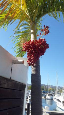 Пальма Адонидия Меррилла(Рождественская пальма) - Adonidia merrillii -