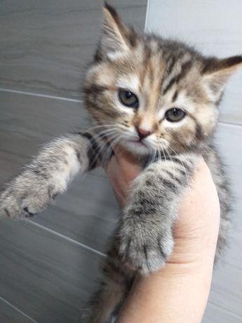 Шотландська мраморна кішка